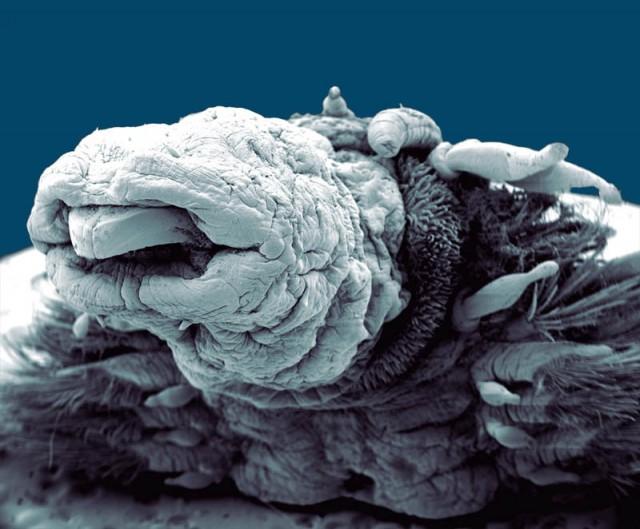 Elektronmikroszkópos fotó - Hidrotermikus féreg