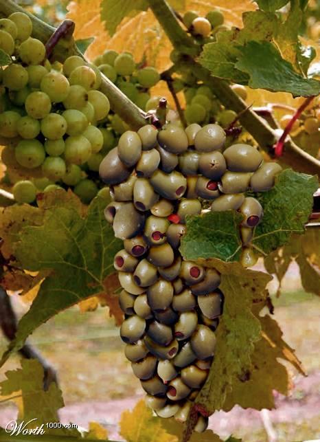 Photoshop gyümölcs: olajbogyó-szőlő