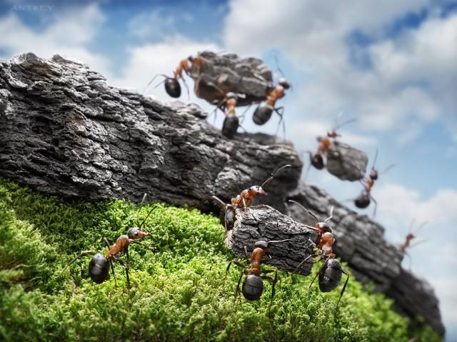 Andrey Pavlov - a hangyák világa (7)